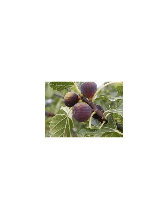 Confiture Figues et Laurier