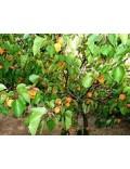 Les fruits de Provence
